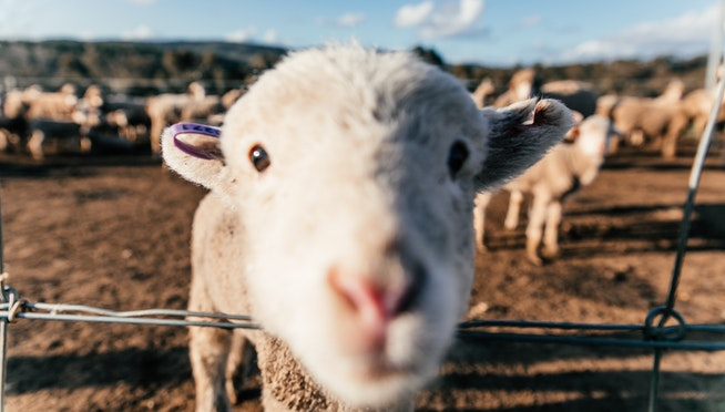 For a week, a rogue sheep has been eluding capture in Illinois