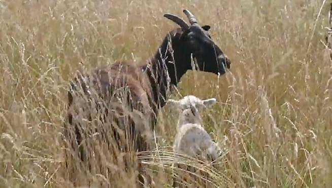 O'Hare brings back goats to clear land for aviation