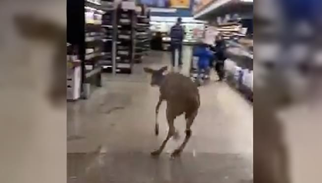 Deer runs around Indiana grocery store