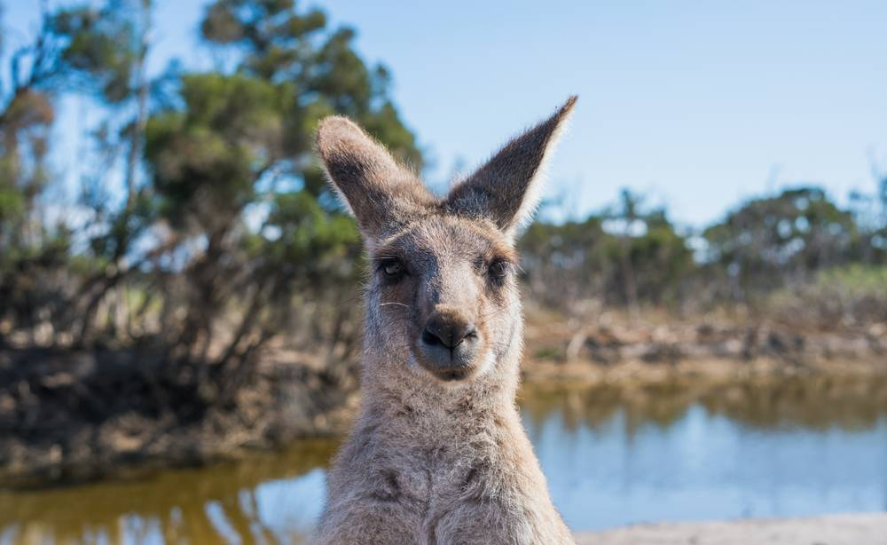 ONLY IN FLORIDA: Police perplexed after finding kangaroo roaming streets