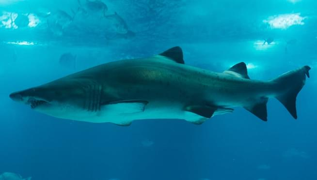 Swim with the sharks!  Shedd Aquarium shares virtual dives for Shark Week