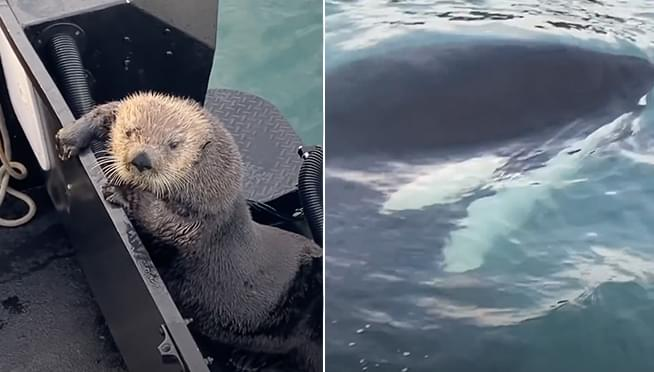 YIKES!  WATCH an otter escape a killer whale by jumping onto someone's boat