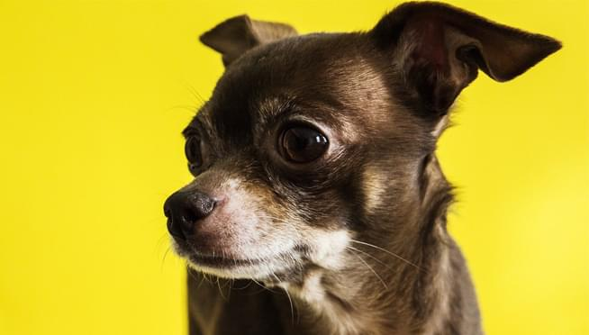 Chihuahua saves owner's life when he has a stroke