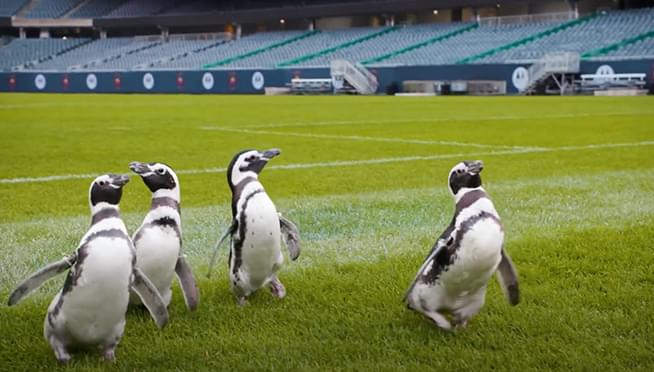 WATCH the Shedd Aquarium penguins take a tour of Soldier Field