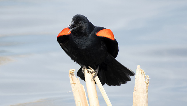 WATCH OUT!!  Red-Winged Blackbirds attacking people along the lakefront