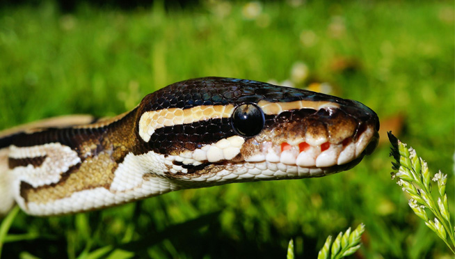 BALL PYTHON captured at Wheaton Forest Preserve