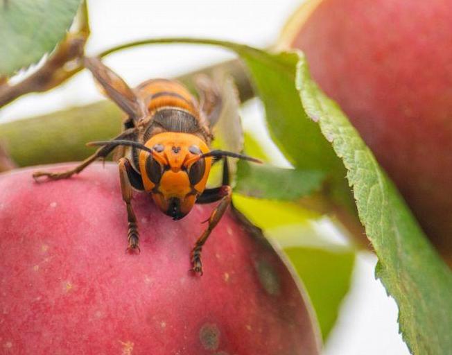 First 'Murder Hornet' Nest Found In Washington State