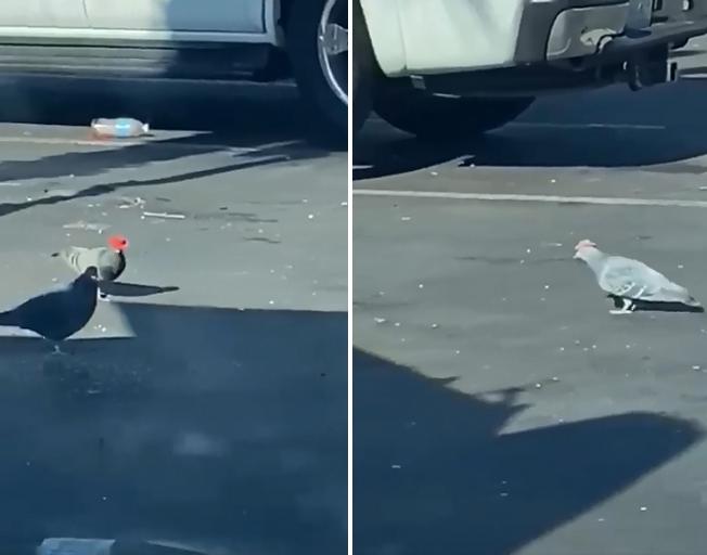 Pigeons Wearing Cowboy Hats Seen in Las Vegas