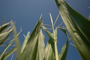 Rainy weather pushed cash crops last week