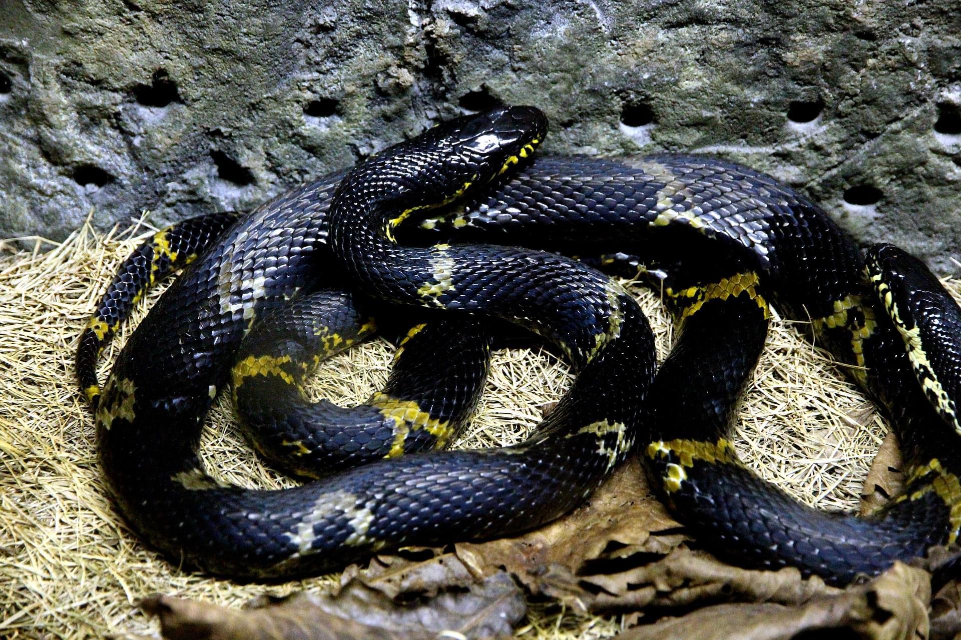 Rat Snake Zionsville