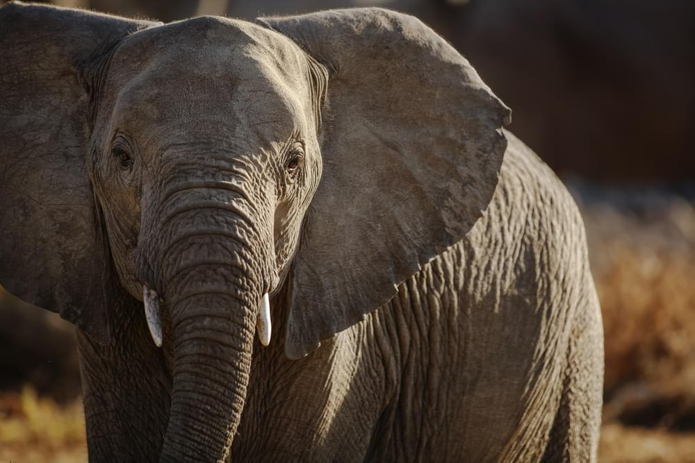 Indianapolis Zoo Mourning The Loss Of Their Oldest Elephant