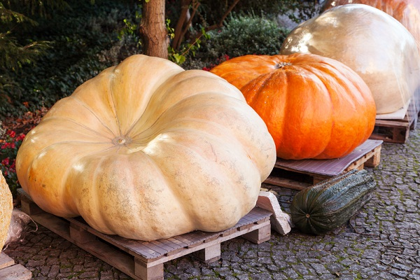 A Record Setting Pumpkin Disqualified From $20,000 Prize
