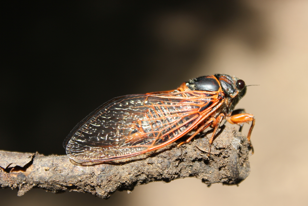 The Cicadas Are Coming…And Here's Where You Can See Them!