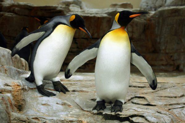 King penguin (Aptenodytes patagonicus).
