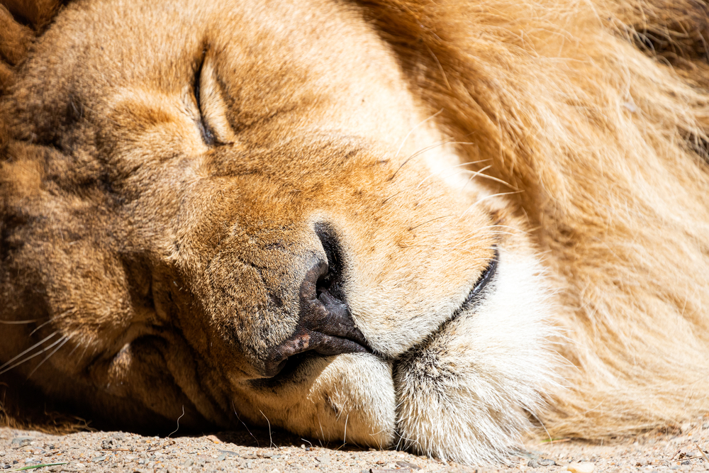 3 Lions At Indy Zoo Test Positive For Covid-19