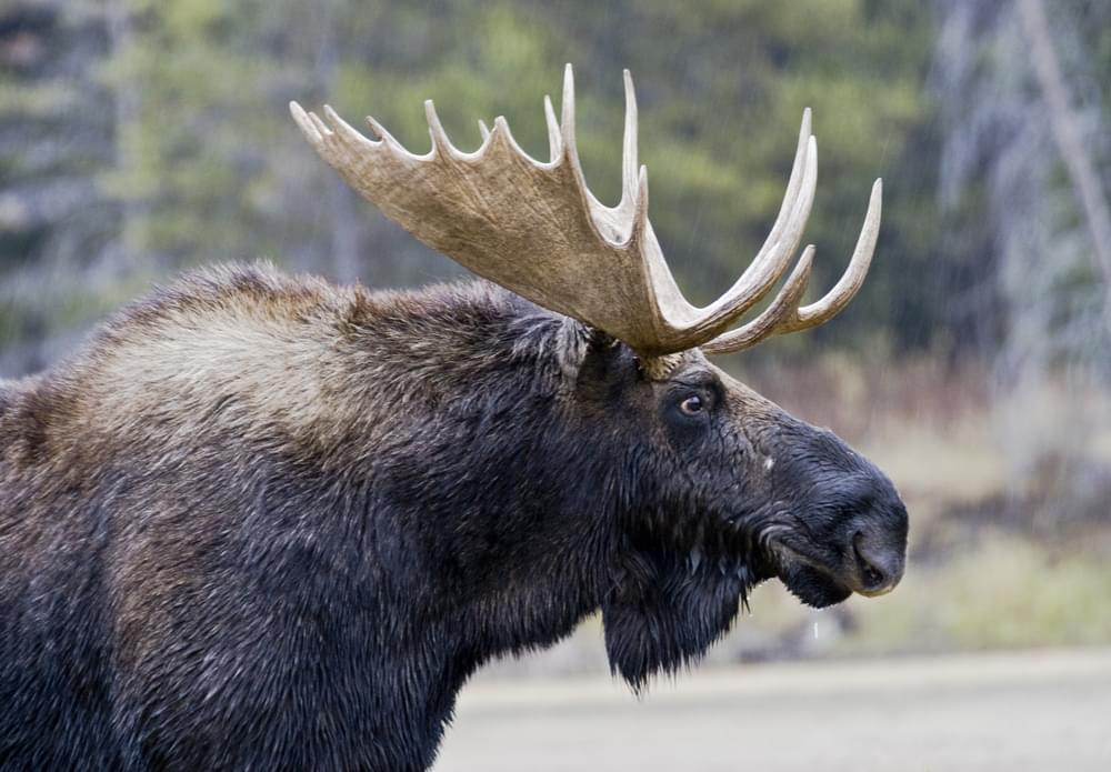 Crazy Town Gets In Crazy Car Crash With Moose [VIDEO]