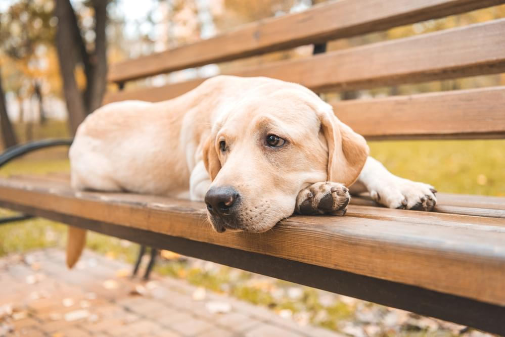 Labs Are Still America's Favorite Dog . . . But Another Breed Is About to Pass It