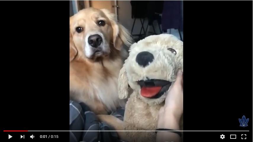Jealous Dog Tears Up Stuffed Animal