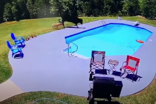 This Guy's Play-By-Play of Two Dogs Chasing a Cow Into a Pool Is Amazing [VIDEO]