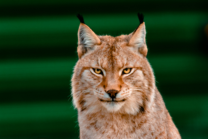 Bobcat Attacks Family in Their Driveway and the Video is Absolutely Insane