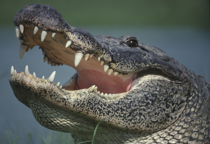 Florida Man Captures Alligator In a Trash Can [VIDEO]