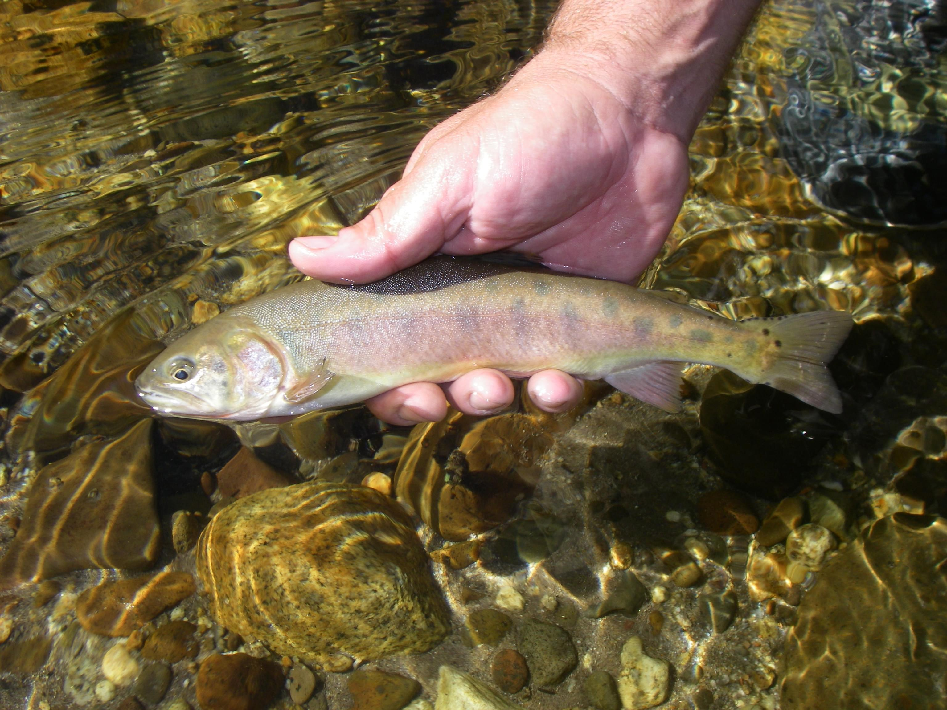 Paiute Trout Swim Again in Eastern Sierra