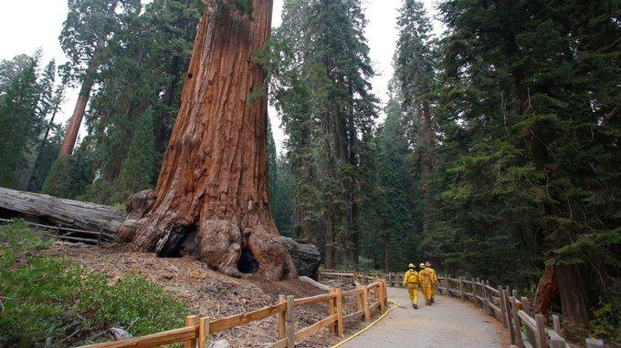 Crews Preparing Giant Sequoias as KNP Complex Fire Nears