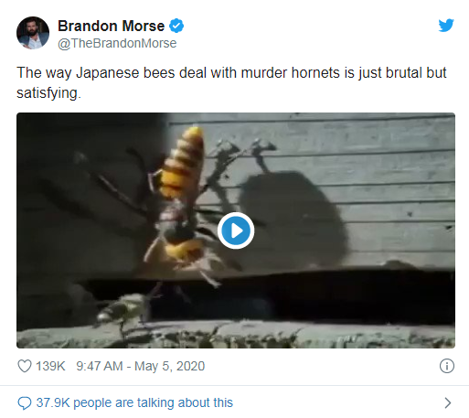 Japanese Bees Savagely Take Down Murder Hornets