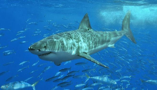 Researchers tag 50 sharks off Cape Cod this season