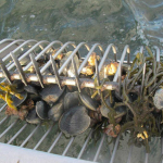 Some Rhode Island shellfishing areas closing for season