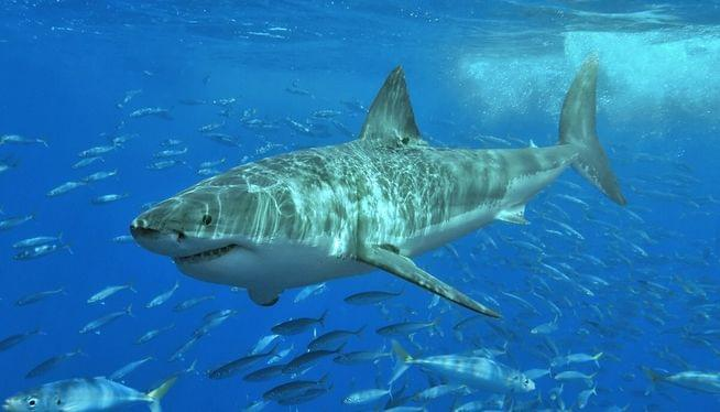 Researchers from US and Canada team up to study white sharks