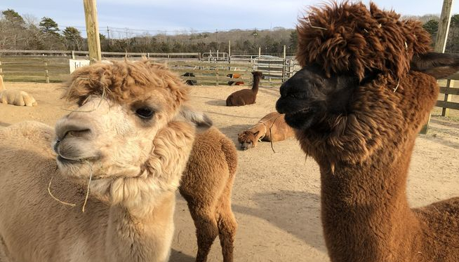 Feds: Man used fraudulent PPP loan to buy alpaca farm