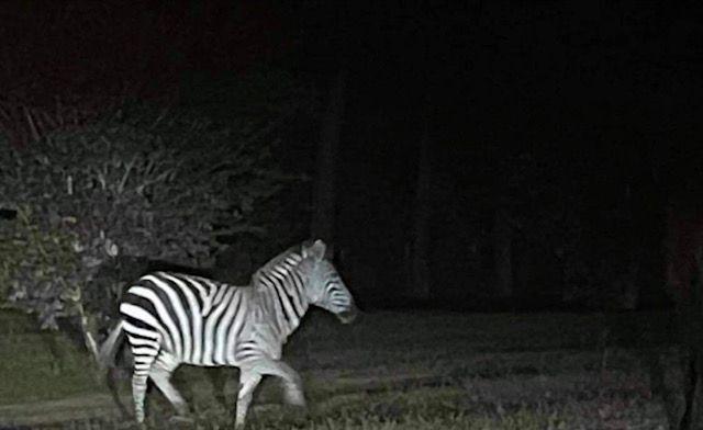 Did y'all see the zebra that escaped its enclosure in DeSoto Parish?