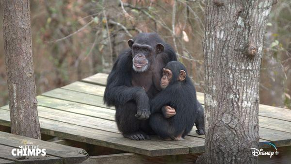 A New Documentary On Disney Plus Was Filmed At Chimp Haven!