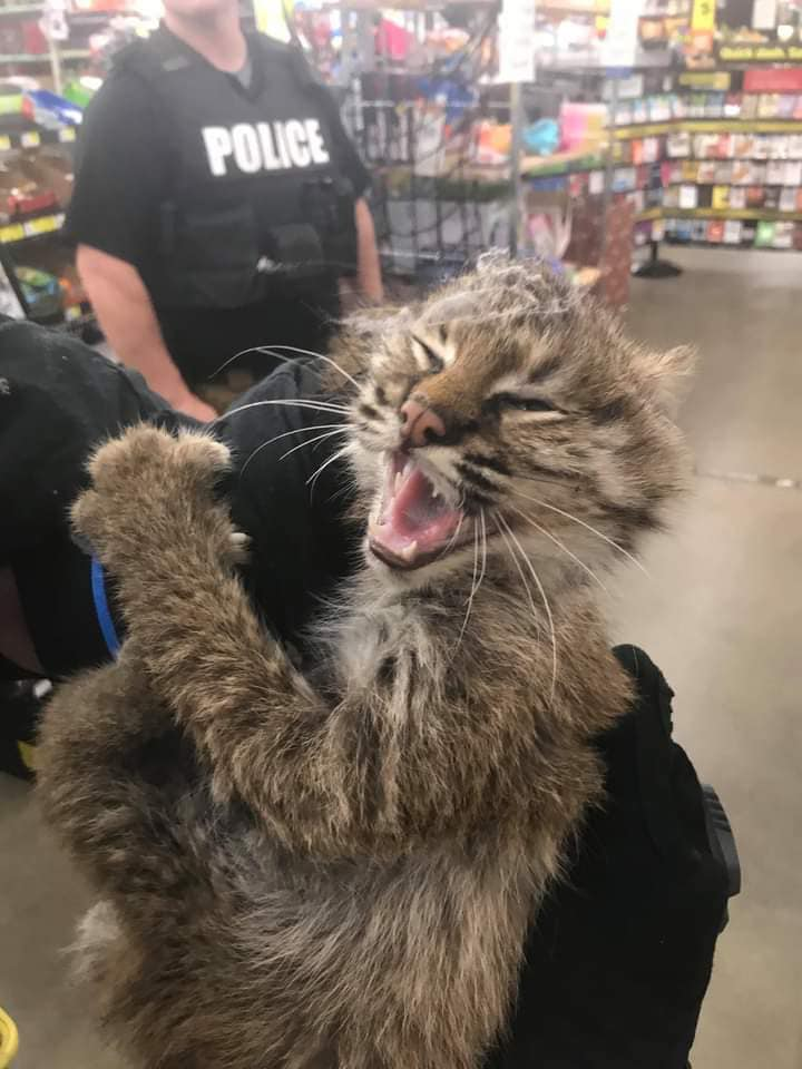 Bobcat Pulled from KY Dollar General Store