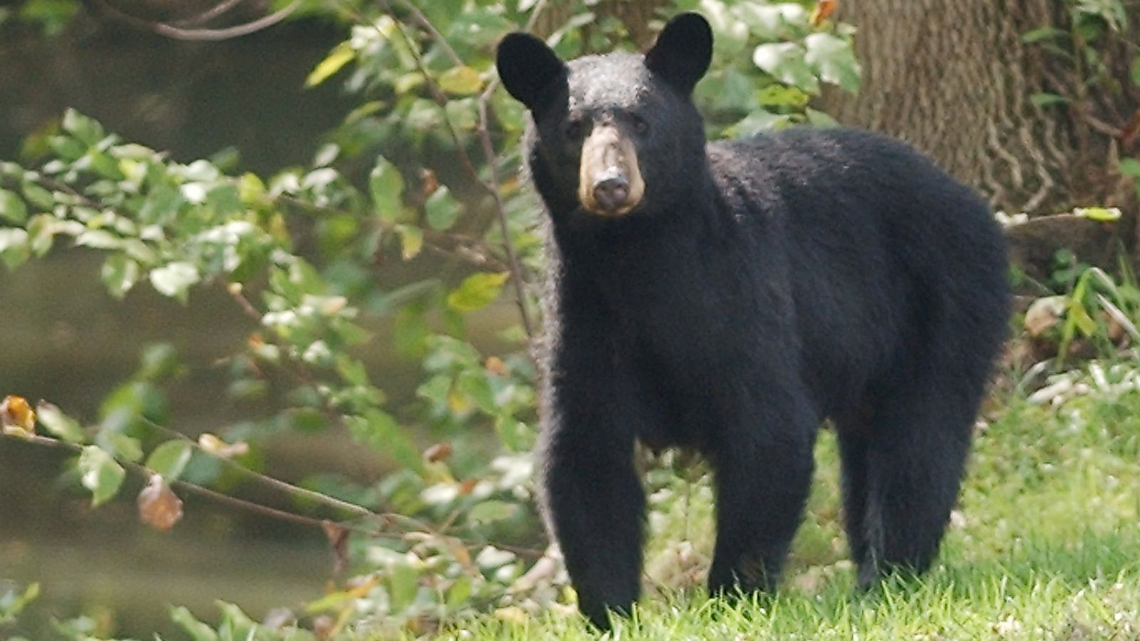 TWRA Officials Euthanize Bear Found Near Human Remains of Missing Walland Man
