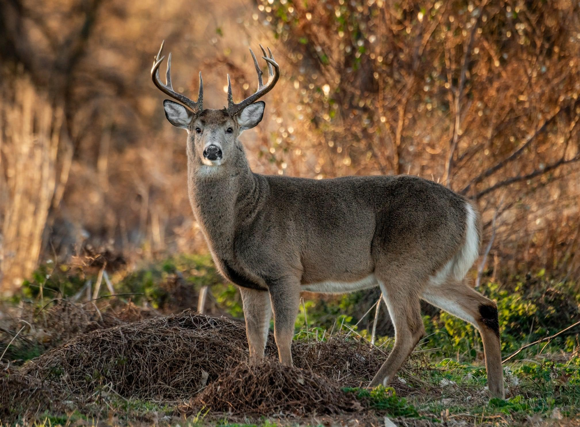 Deer in Two Tennessee Counties Test Positive for CWD