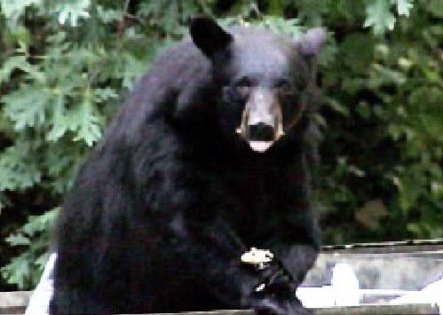 TWRA Investigating After Man Shoots at Bear in Gatlinburg