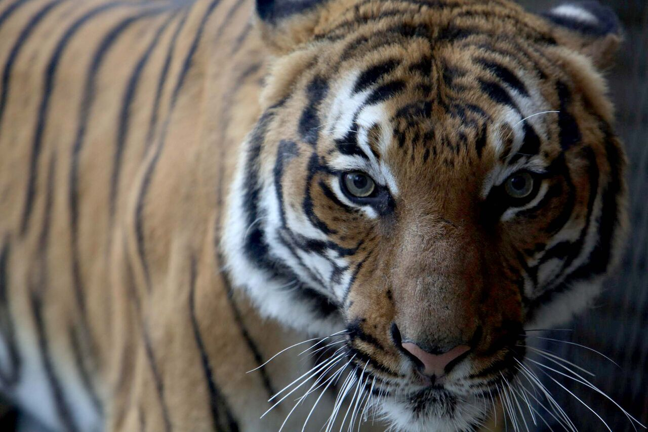 Zoo Knoxville Tiger Tests Positive For Coronavirus