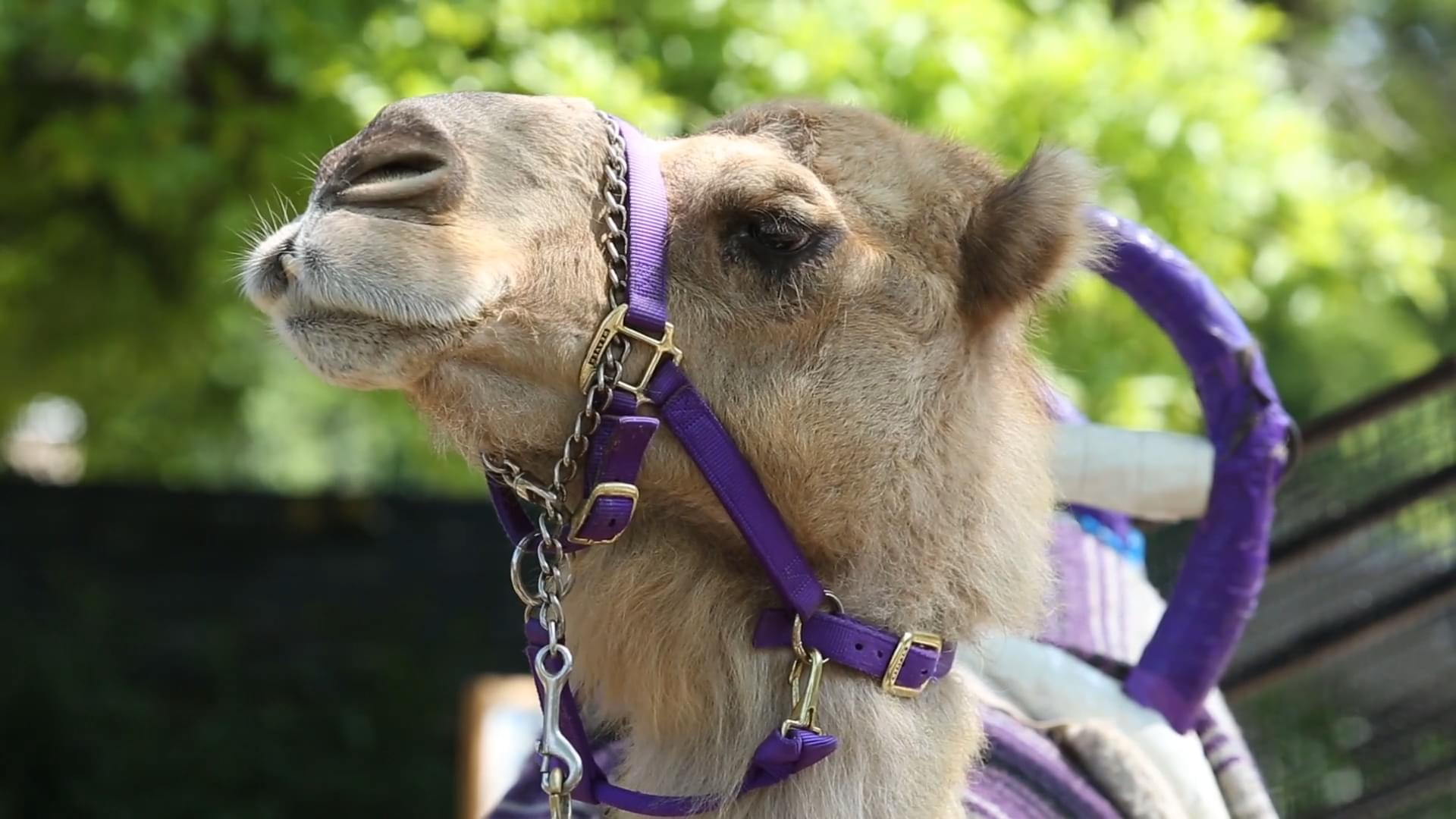 Zoo Knoxville Fan Favorite, Abba the Camel, Dies