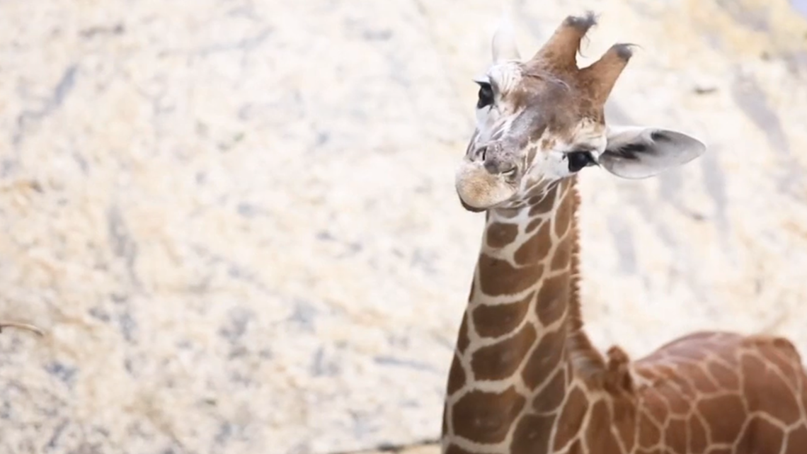 Bea Zoo Knoxville's Popular Giraffe is About to Leave for a New Home