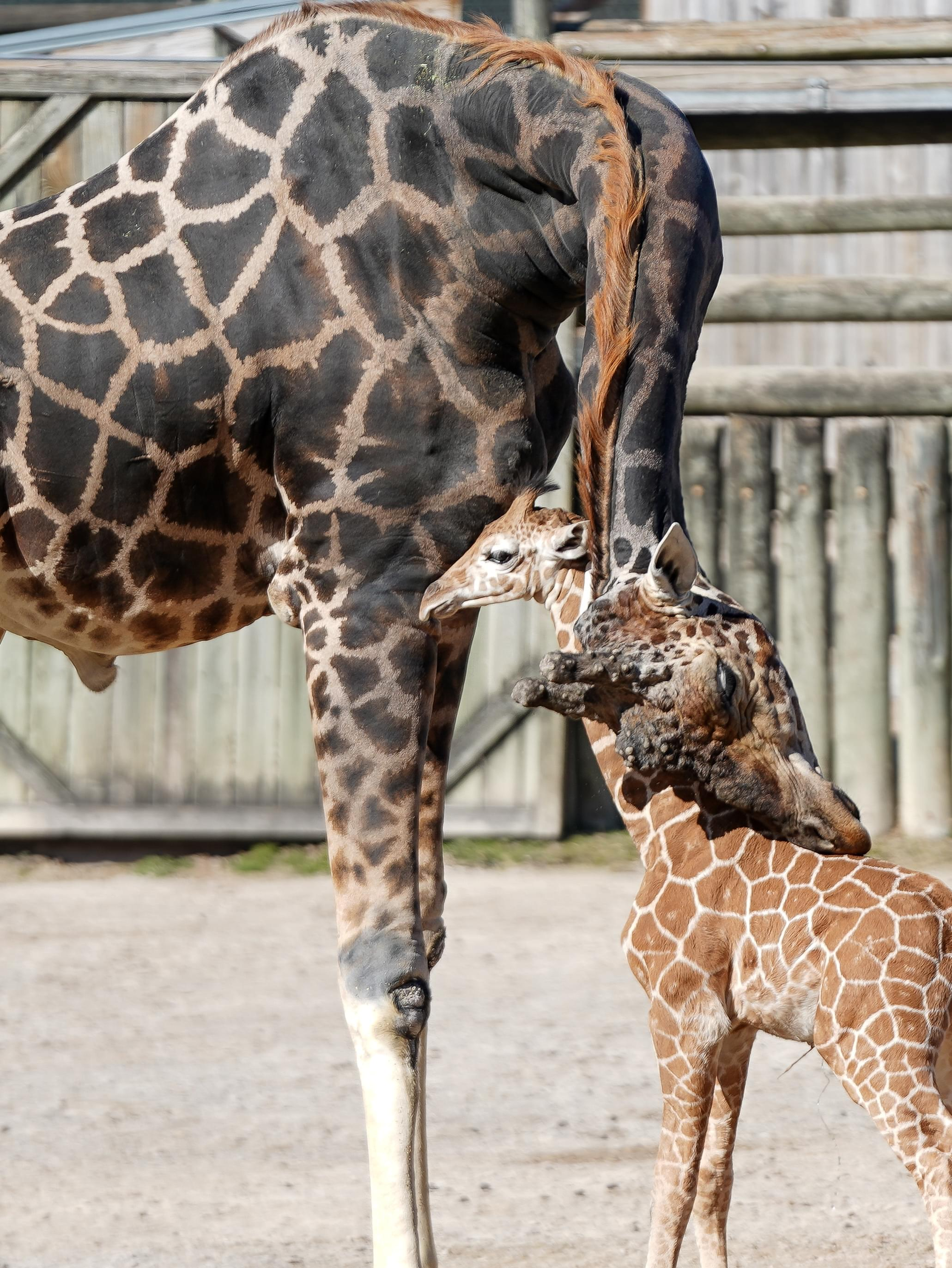 Zoo Knoxville Names Their Newest Giraffe