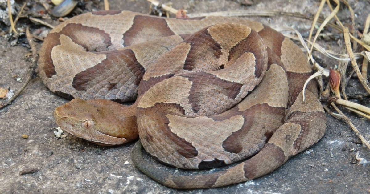 Copperheads Still Out Around East Tennessee