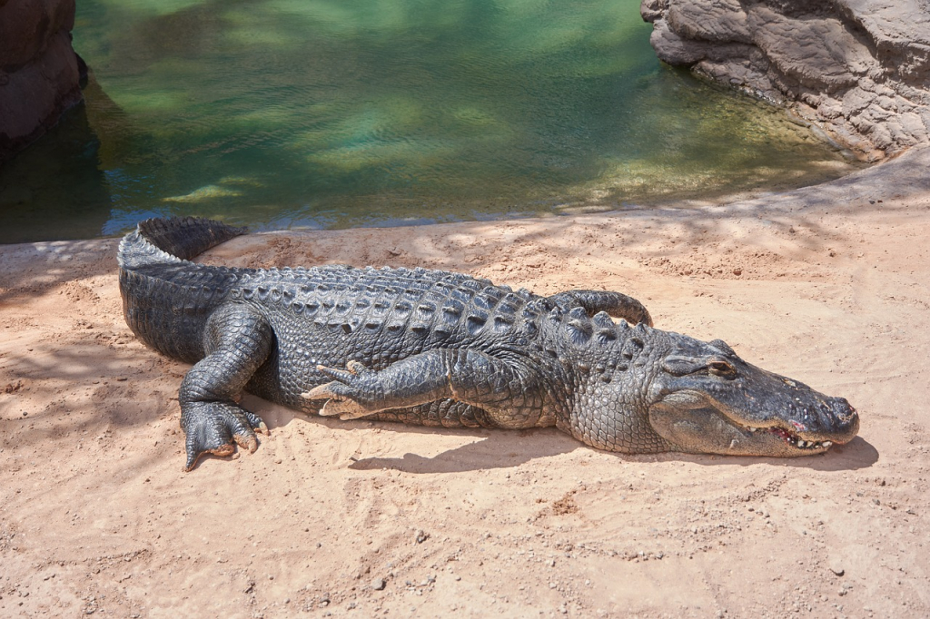 Florida couple enjoys morning coffee with an alligator