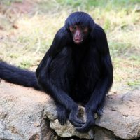 spider-monkey-1200214_1920