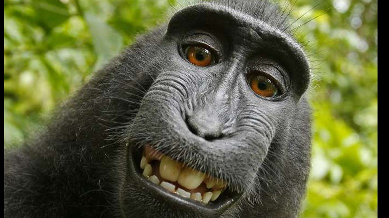 Does monkey own rights to this selfie?