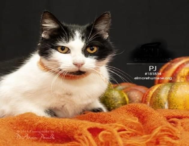 Pet of the Week: PJ the Cat