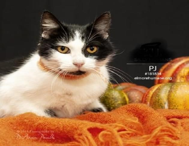 Pet of the Week: PJ the Cat
