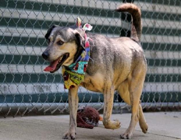 Pet of the Week: Dobbie the Heeler/Shepherd Mix Dog [PHOTOS]