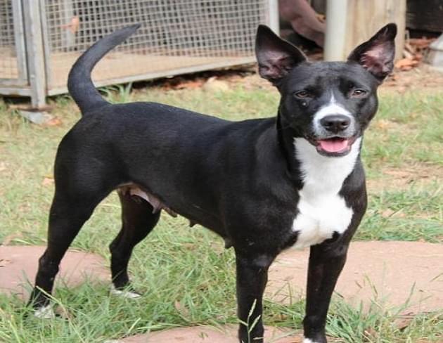 Pet of the Week: Luna the Labrador/Pit Mix Dog [PHOTOS]